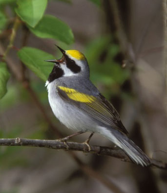 The Golden-winged Warbler population is in sharp decline due to lack of natural disturbances, too little forest management, and habitat loss from human development. / Roger Eriksson
