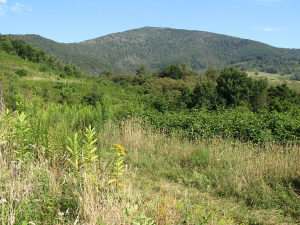 Habitat managed for Golden-winged Warblers, on the Grassy Ridge tract adjoining Pisgah National Forest. Photo: Southern Appalachian Highlands Conservancy