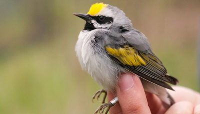 Monitoring and tagging Golden-winged Warblers on the protected National Trails Tracts. Photo: Chris Coxen, Southern Appalachian Highlands Conservancy.