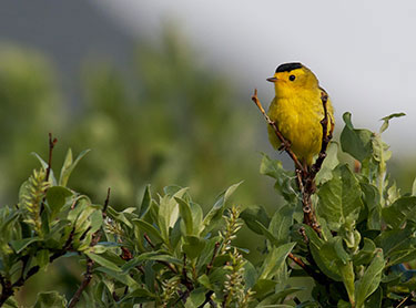 Wilson's Warbler · Photo by: Nick Hajdukovich