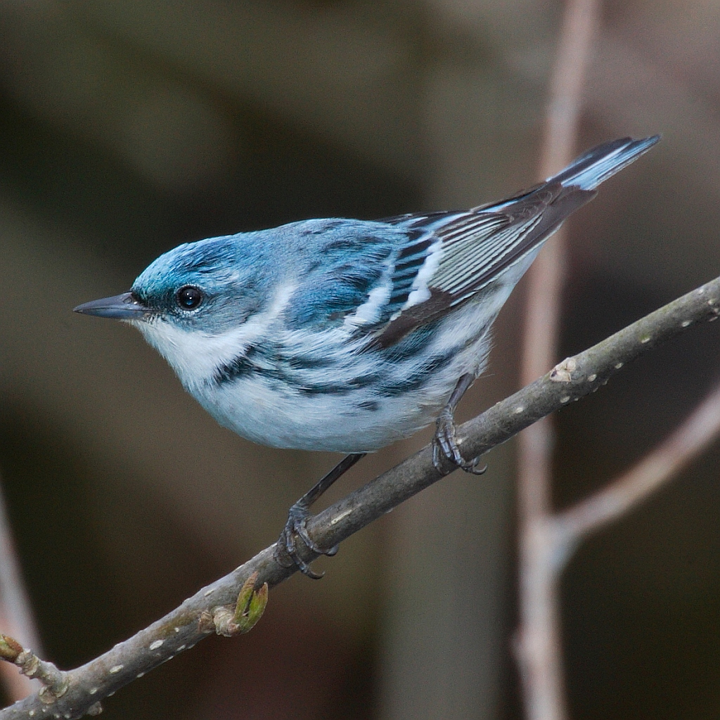 Cerulean warbler, courtesy Wikipedia