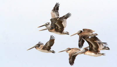 Pelicans flying Alan Schmierer