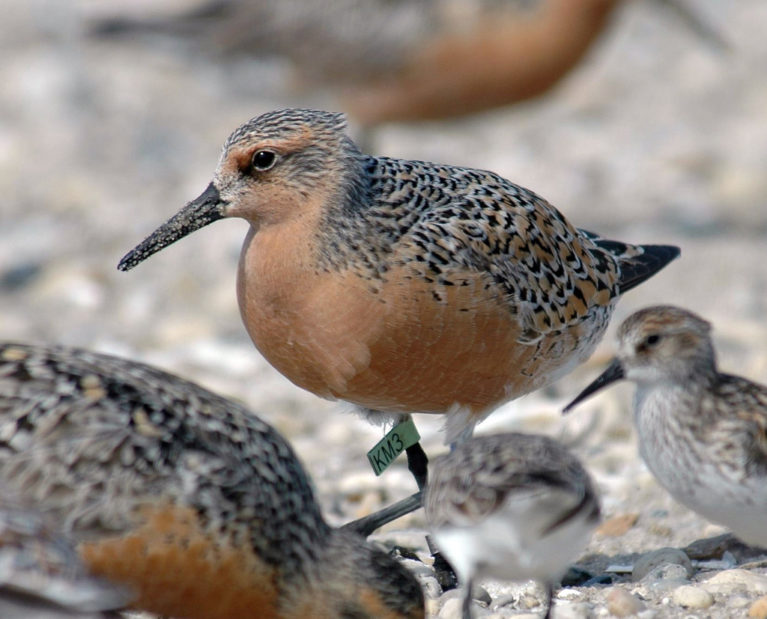 Red knot at Bombay Hook NWR